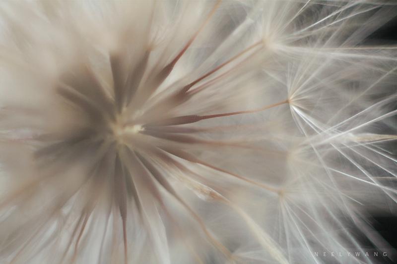 image of macro dandelion
