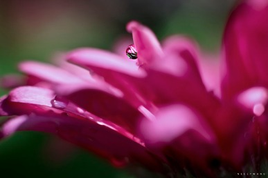macro photography of water droplets on pink gerbera daisy