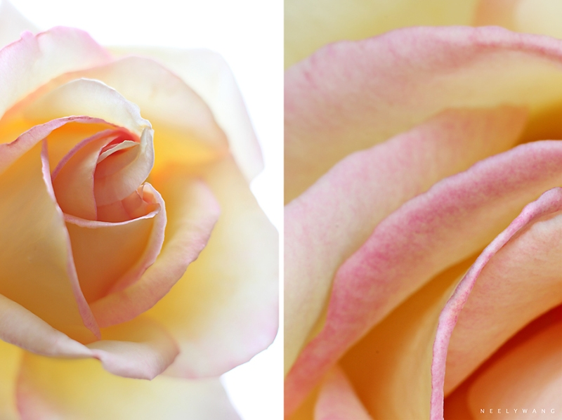 pink-tipped yellow roses