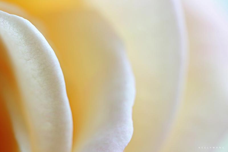 macro photography of yellow rose