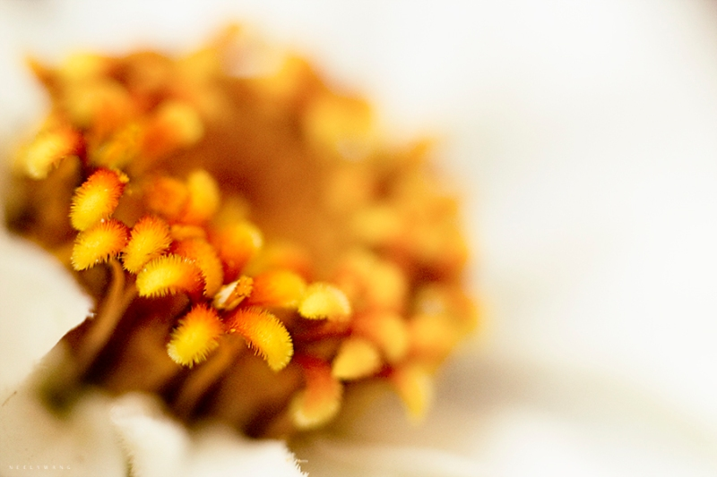 macro photography of white zinnia