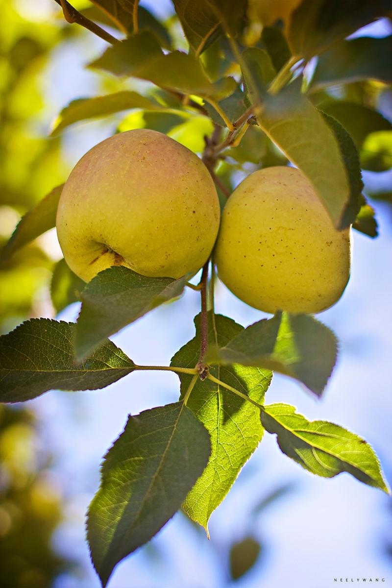 apple picking at twin hill ranch, sebastopol, california
