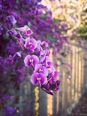 Purple Lilac Vine