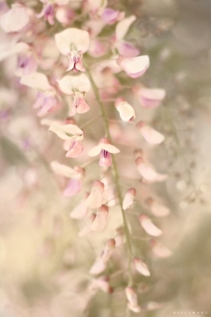 wisteria | Neely Wang