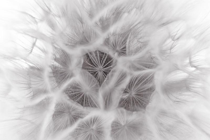 Dandelion | Neely Wang