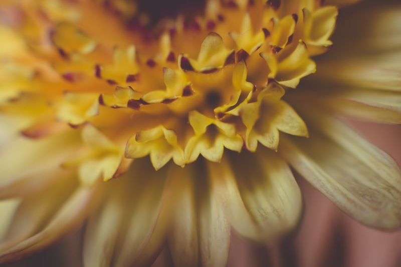 yellow button mum | Neely Wang Photography