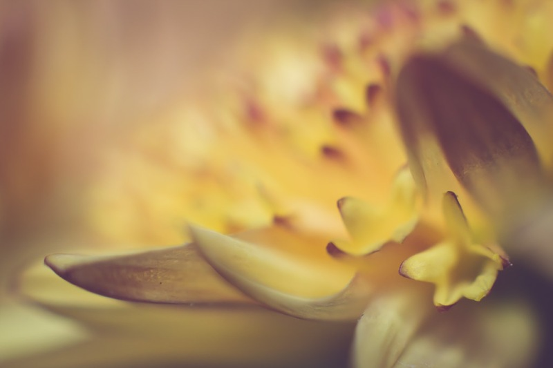 yellow chrysanthemum | Neely Wang Photography