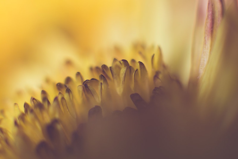 yellow mum | Neely Wang Photography