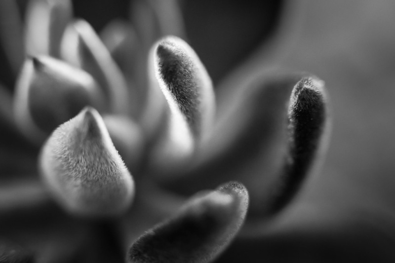Echeveria Harmsii | Neely Wang Photography