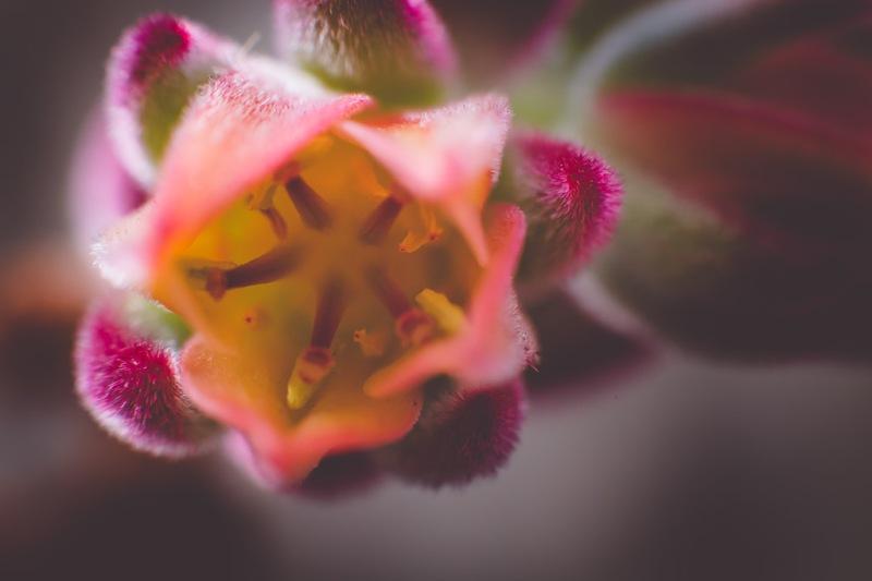 Echeveria Harmsii | Neely Wang Photography
