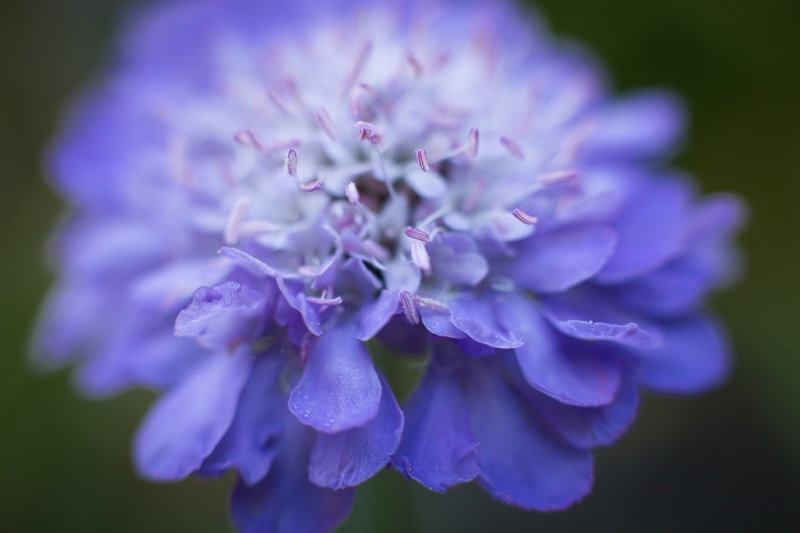 Pincushion Flower | Neely Wang Photography