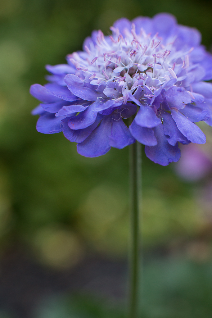 Butterfly Blue | Pincushion Flower | Neely Wang Photography