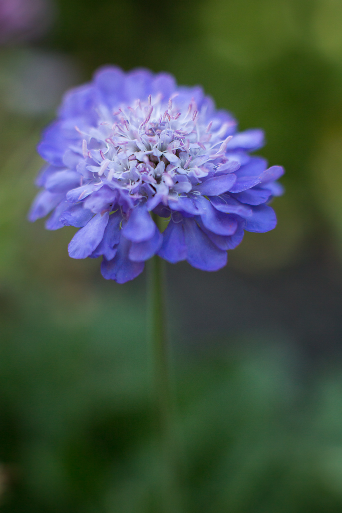 Scabiosa | Pincushion Flower | Neely Wang Photography