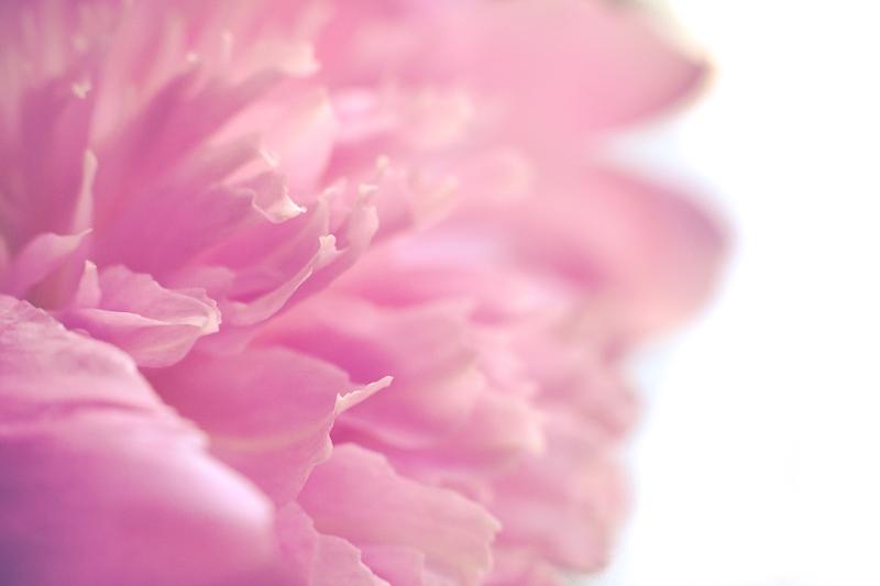 Pink Peony | Neely Wang Photography