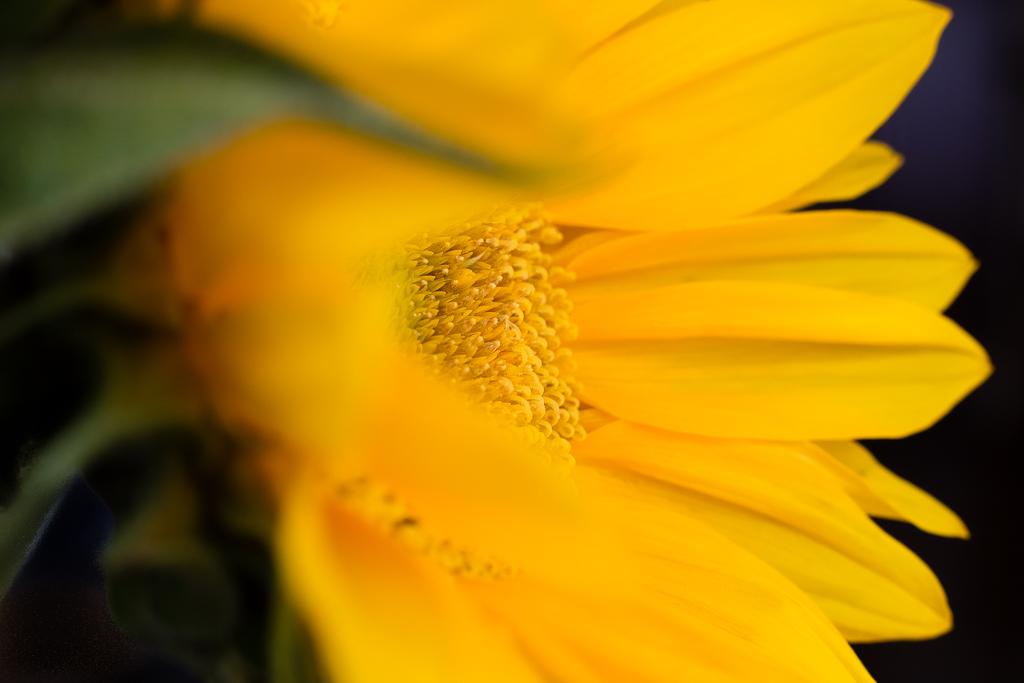 Sunflower Macro Stock Images RoyaltyFree Images Vectors